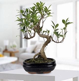 Gorgeous Ficus S shaped japon bonsai  Şanlıurfa cicekciler , cicek siparisi