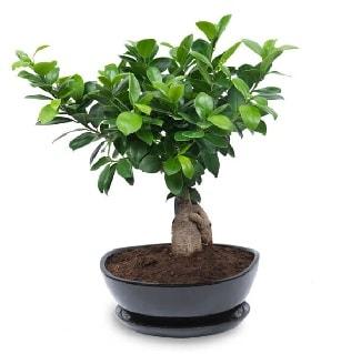 Ginseng bonsai ağacı özel ithal ürün  Şanlıurfa çiçek gönderme sitemiz güvenlidir