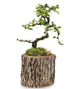 Doğal kütükte S bonsai ağacı  Şanlıurfa kaliteli taze ve ucuz çiçekler