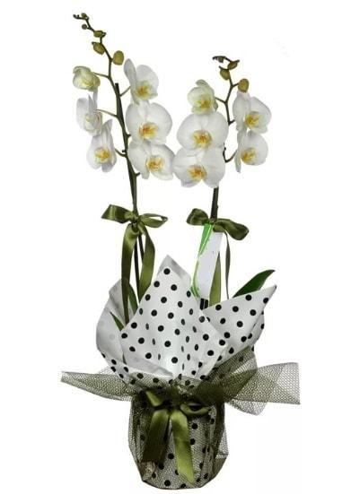 Çift Dallı Beyaz Orkide  Şanlıurfa çiçekçi mağazası