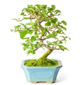 S zerkova bonsai kısa süreliğine  Şanlıurfa anneler günü çiçek yolla