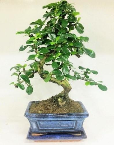 S Bonsai japon ağacı bitkisi  Şanlıurfa hediye çiçek yolla
