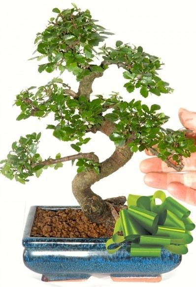 Yaklaşık 25 cm boyutlarında S bonsai  Şanlıurfa İnternetten çiçek siparişi