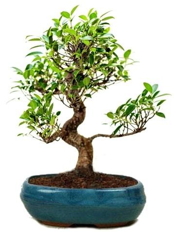 25 cm ile 30 cm aralığında Ficus S bonsai  Şanlıurfa hediye sevgilime hediye çiçek