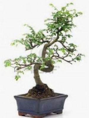 S gövde bonsai minyatür ağaç japon ağacı  Şanlıurfa kaliteli taze ve ucuz çiçekler