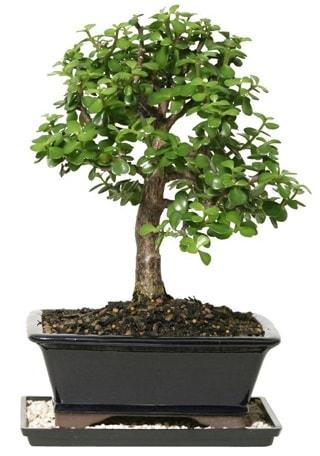 15 cm civarı Zerkova bonsai bitkisi  Şanlıurfa İnternetten çiçek siparişi