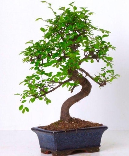 S gövdeli bonsai minyatür ağaç japon ağacı  Şanlıurfa hediye sevgilime hediye çiçek