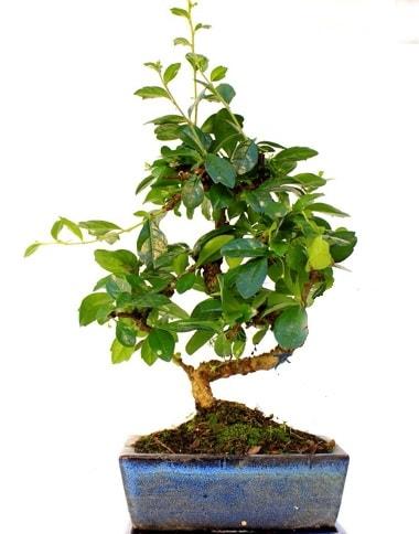 S gövdeli carmina bonsai ağacı  Şanlıurfa çiçek online çiçek siparişi  Minyatür ağaç