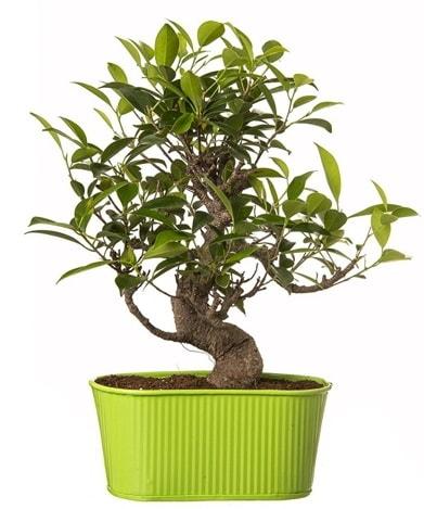 Ficus S gövdeli muhteşem bonsai  Şanlıurfa İnternetten çiçek siparişi