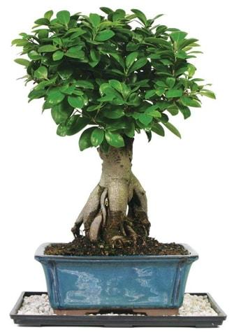 Bonsai Ginsing Grafted Ficus Bonsai  Şanlıurfa çiçek online çiçek siparişi