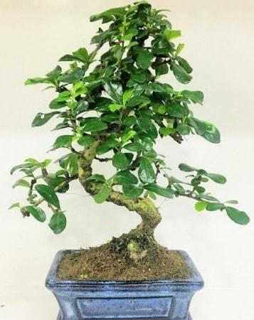 Zelkova S gövdeli Minyatür ağaç Bonzai  Şanlıurfa çiçek servisi , çiçekçi adresleri