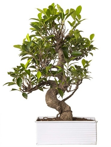 Exotic Green S Gövde 6 Year Ficus Bonsai  Şanlıurfa hediye sevgilime hediye çiçek