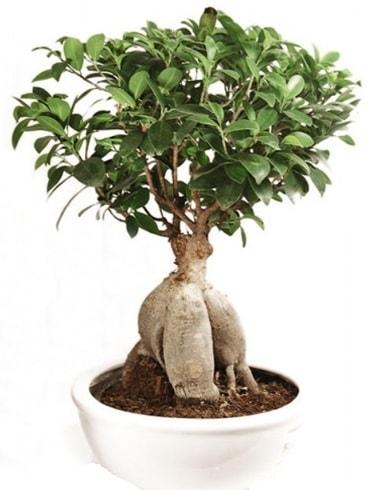 Ginseng bonsai japon ağacı ficus ginseng  Şanlıurfa anneler günü çiçek yolla