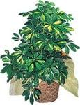 Şanlıurfa çiçek gönderme  Schefflera gold